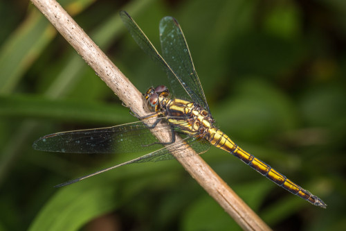 Male Trithemis Dragonfly