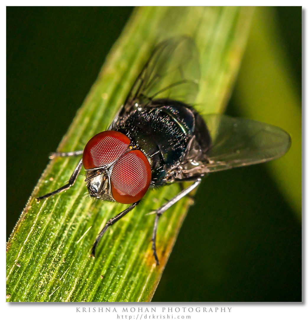 Calliphoridae - Blow Fly