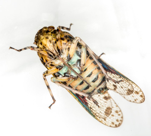 Platypleura Species of Cicada - Ventral View