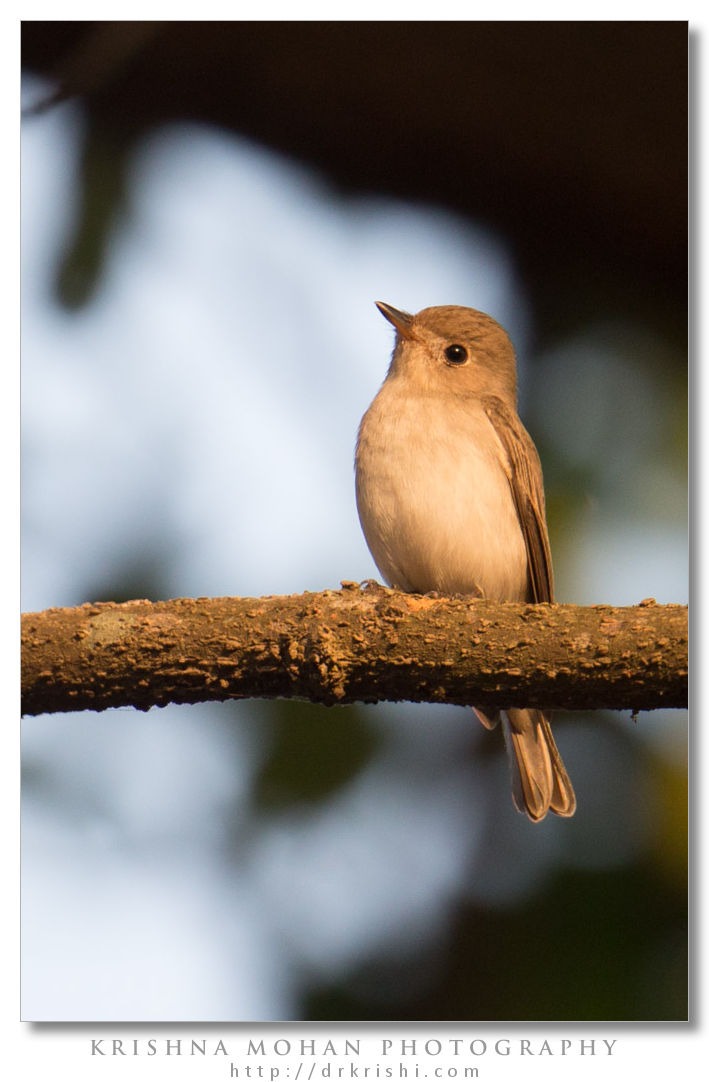 Asian Brown Flycatcher Before PP