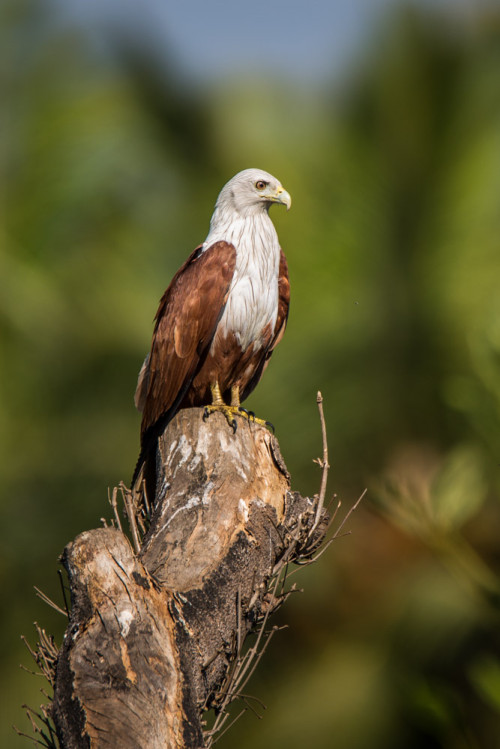 Brahminy Kite at f/6.3 is still sharp