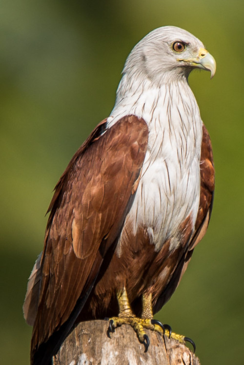 Brahminy Kite at f/6.3 100% crop