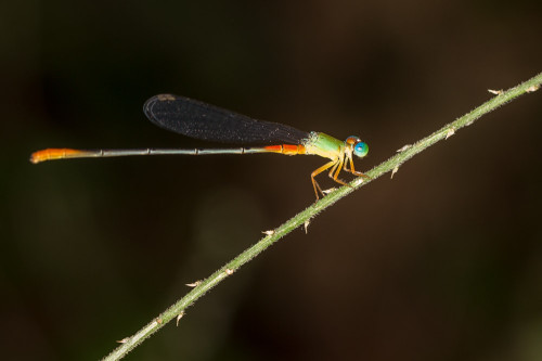Orange-tailed Marsh Dart