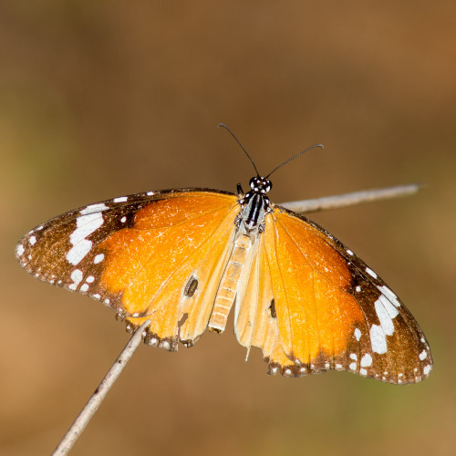 Plain Tiger butterfly (Danais chrysippus)