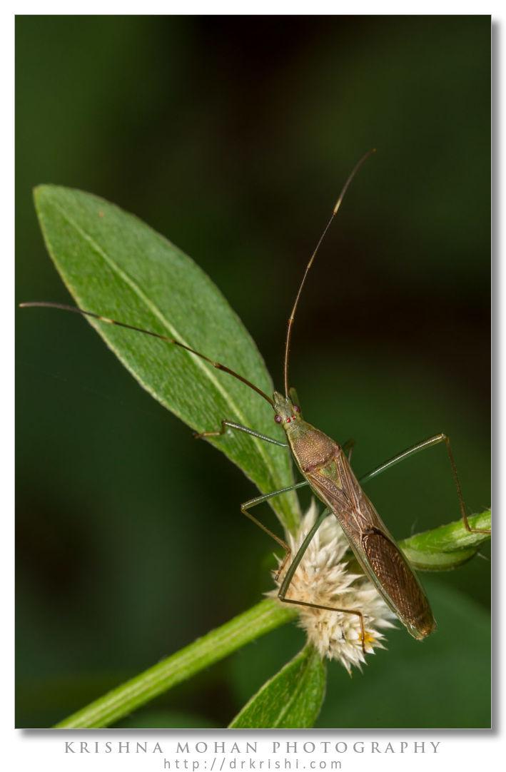 Rice bug - Leptocorisa acuta