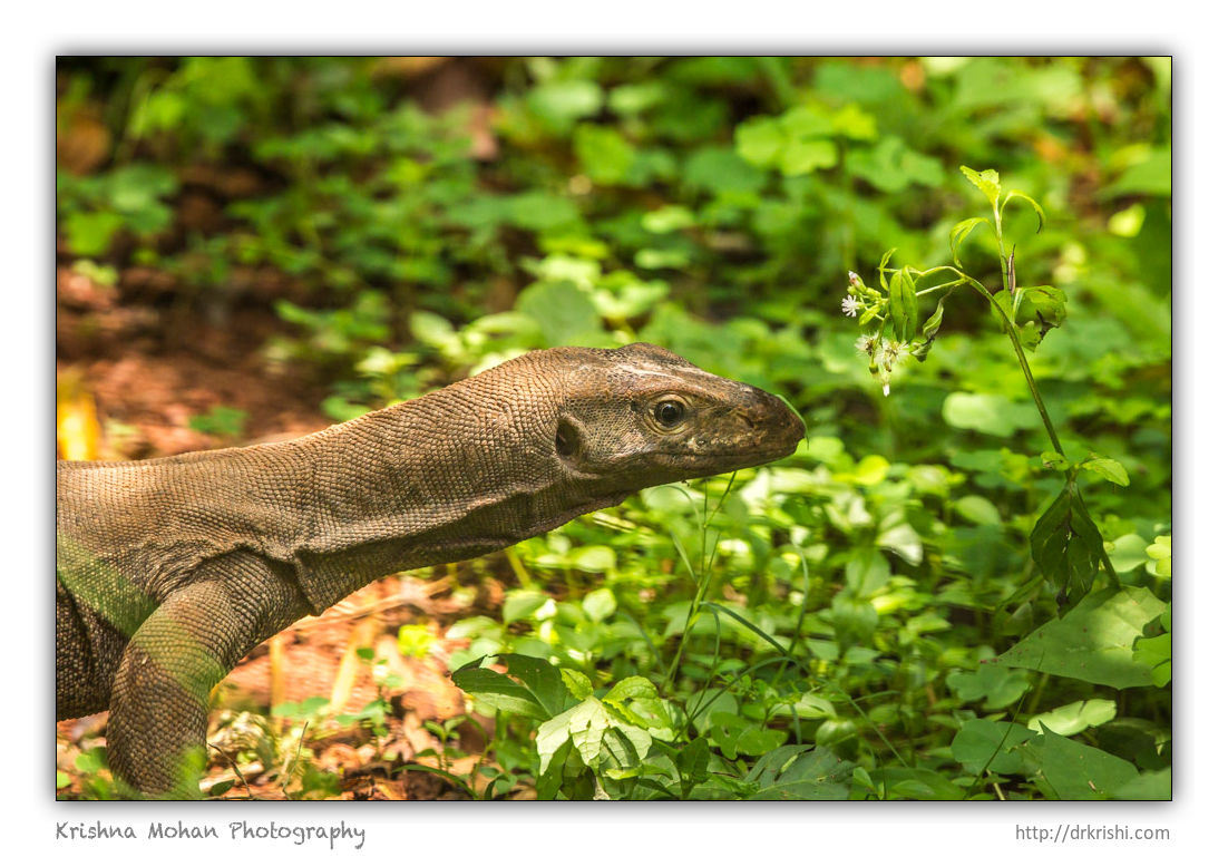 Monitor lizard fascinated by grasshopper