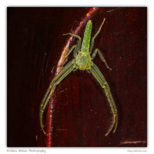 Green Crab Spider on my chair
