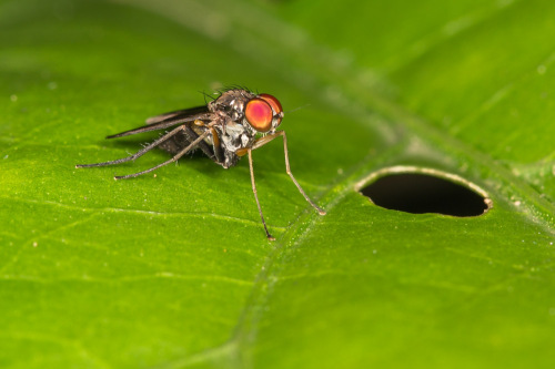 Long-legged flies, Family Dolichopodidae