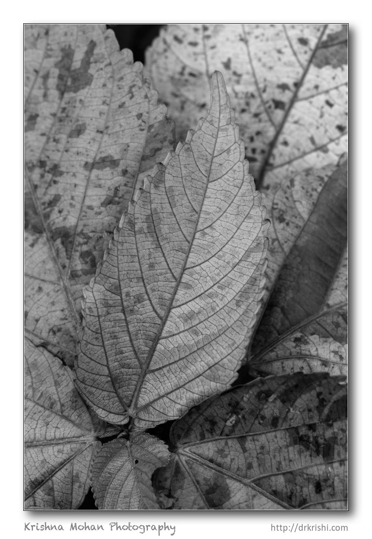 Bad example of bw conversion of leaf