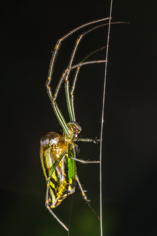 Decorative Silver Orb Spider - Leucauge cf. decorata