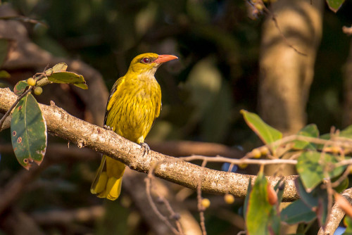 Indian golden oriole (Oriolus kundoo)