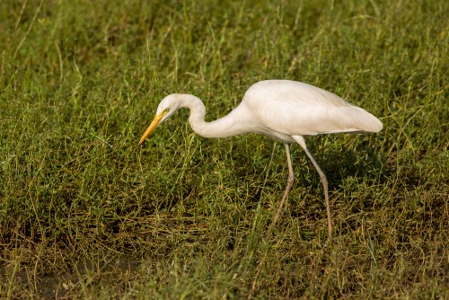 Original Capture of Egret