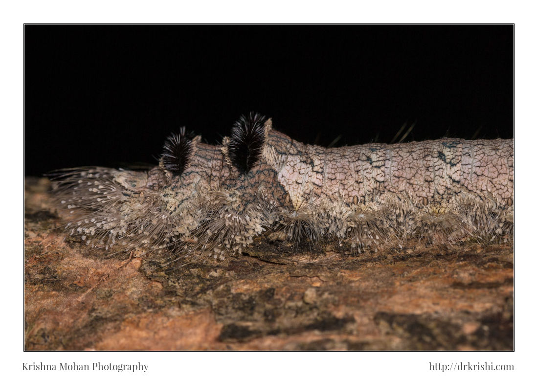 Giant lappet caterpillar Lebeda sp.