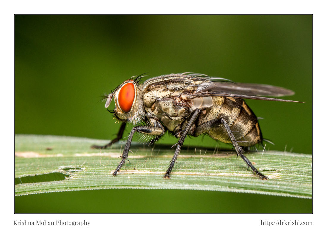 Sarcophagidae Flesh Fly