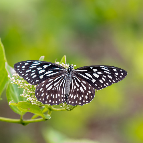 Dark Blue Tiger Butterfly