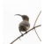 Loten's Sunbird With Eclipse Plumage