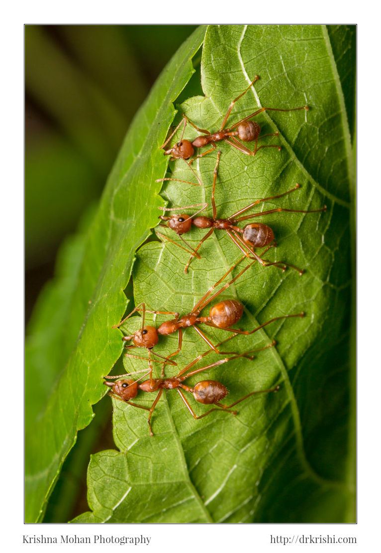 Four workers holding leaf for weaver ant nest