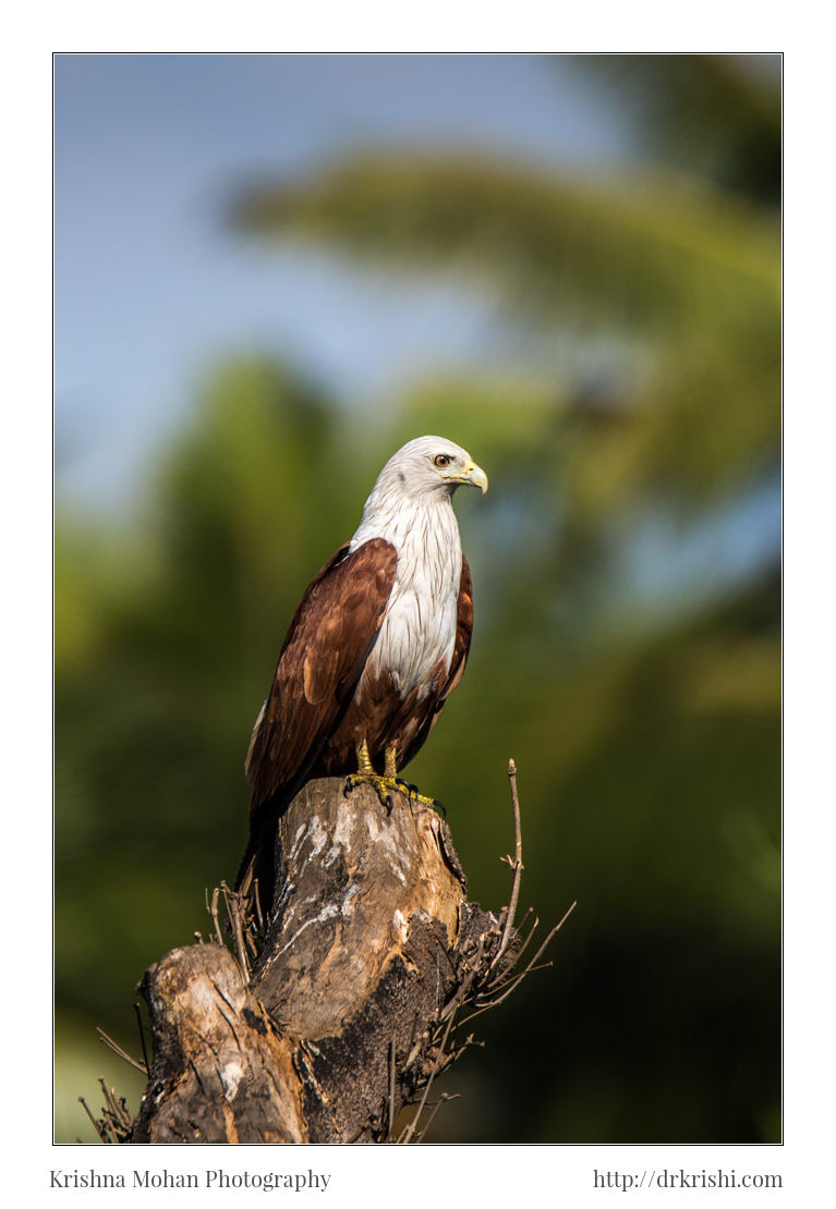 Brahminy Kite at f/8