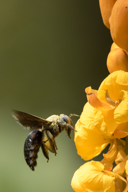 Carpenter Bee using Tamron 150-600