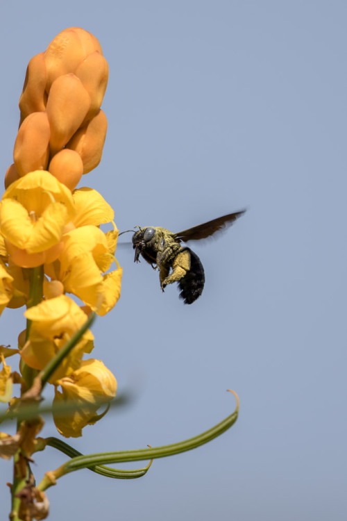 Carpenter Bee using 500mm f/4