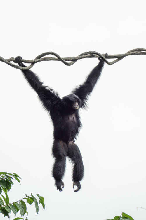 The siamang (Symphalangus syndactylus)