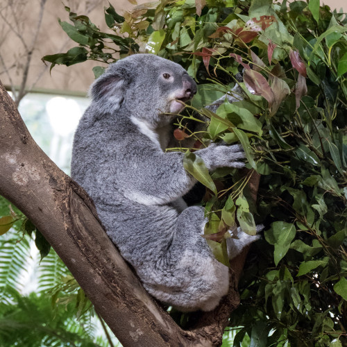 The koala (Phascolarctos cinereus)