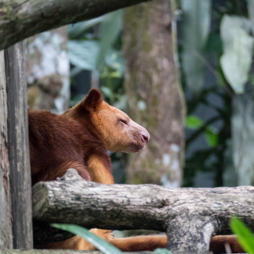 Goodfellow's tree-kangaroo (Dendrolagus goodfellowi)