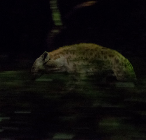 Night Safari - Spotted hyena (Crocuta crocuta)