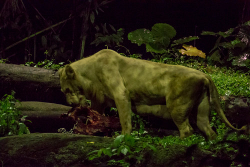 Night Safari - Lioness (Panthera leo) feeding