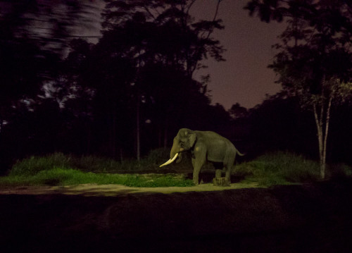 Night Safari - Asiatic elephant (Elephas maximus)