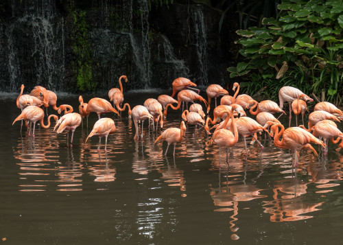 Flamingoes (Phoenicopterus ruber) at Flamingo Pool