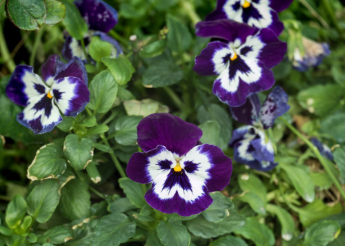 Blue White Pansy Flower