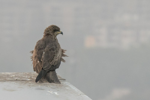 Cropped image of Black Kite