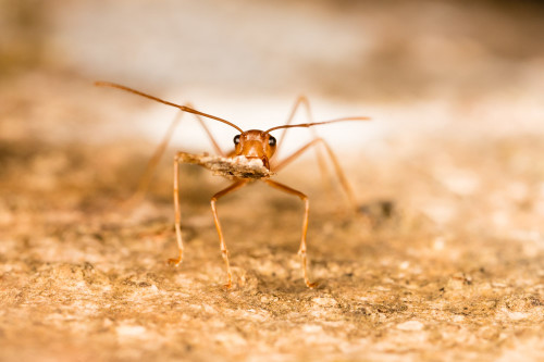 Head shot of Weaver Ant