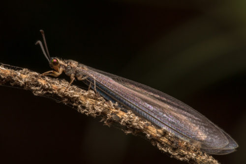 Antlion Lacewing