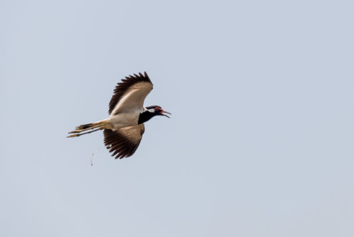 Red Wattled lapwing in Flight