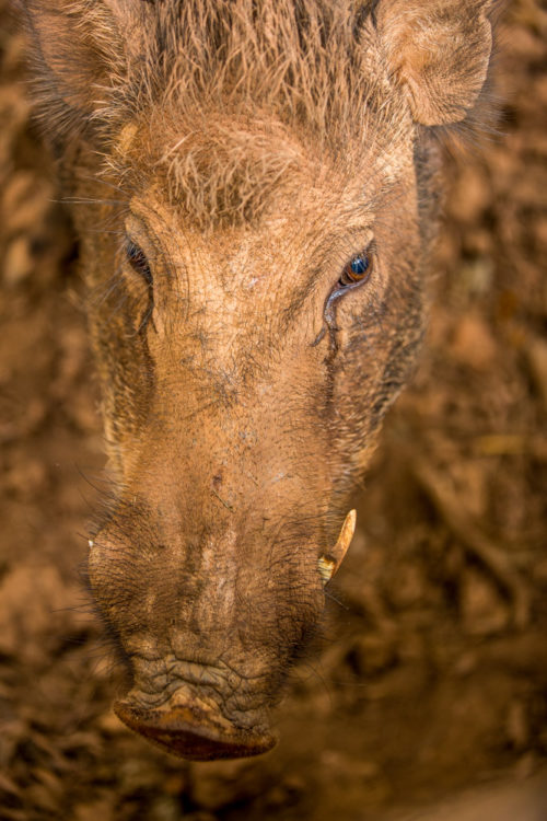 Indian Wild Boar Headshot
