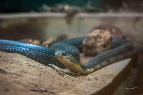 King Cobra at ISO 6400, no noise reduction done