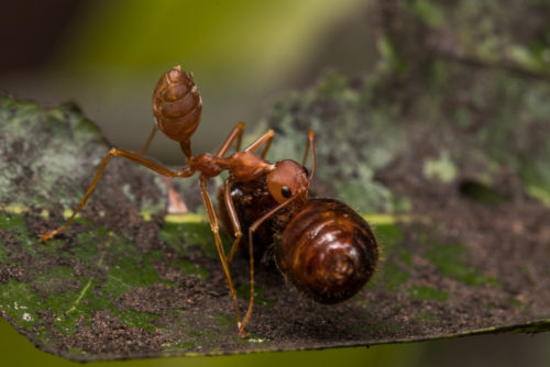 Weaver Ant with Prey