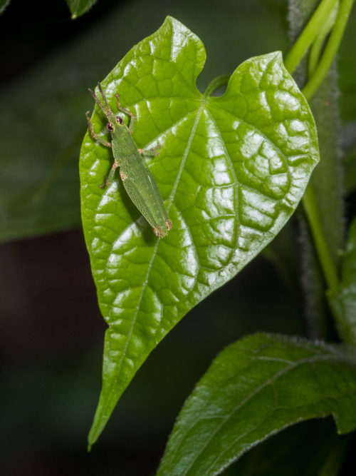Short Horned Grasshopper