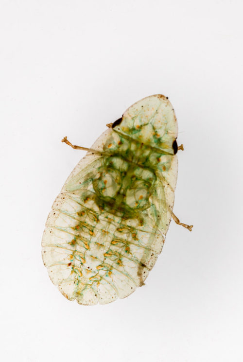 Flat-head Leafhopper Nymph