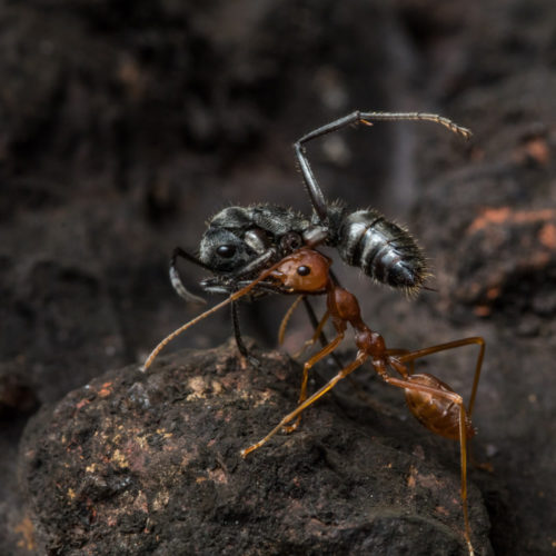 Indian Queenless Ant