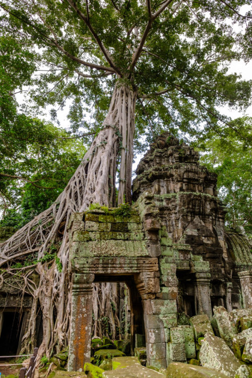 Strangler Fig of Ta Prohm