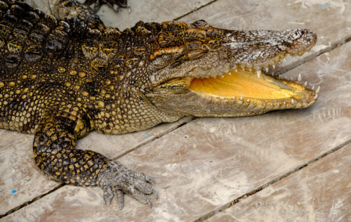 Captive Crocodiles in the farm