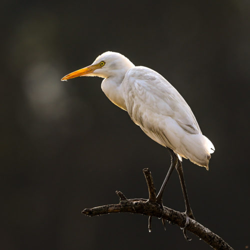 Cattle Egret (Non Breeding plumage)