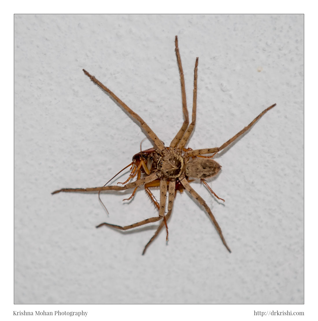 Male Huntsman Hunting Cockroach