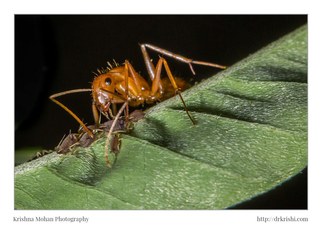 Ant Sucking HoneyDew from Aphid