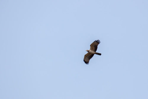 Honey Buzzard in flight