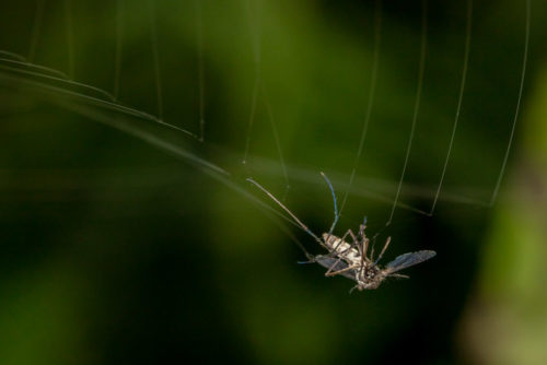 Culex Mosquito in spider web