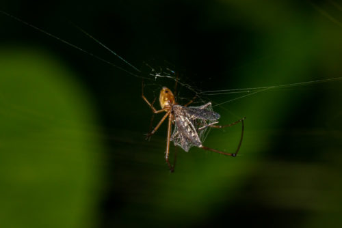 Spider Catching Mosquito